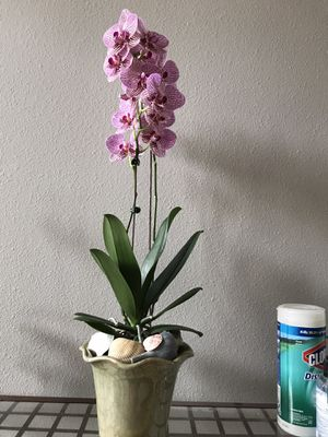 Beautiful orchid plants flowering in a green ceramic pot for Sale in Aurora, CO