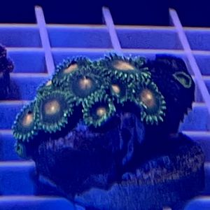 Green And Orange Zoas for Sale in San Dimas, CA