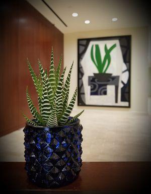Sensational Succulent: Haworthia fasciata 'Zebra Haworthia' for Sale in Washington, DC