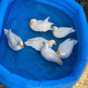 Call Duck Eggs for Sale in El Monte, CA