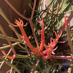 Cactus Plants & Cuttings For Sale Shipping Available for Sale in Chandler, AZ