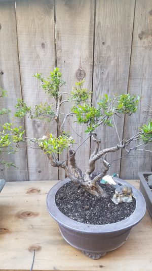 Dwarf pomegranate bonsai in a large Japanese pod it's in flowering right now for Sale in Fresno, CA