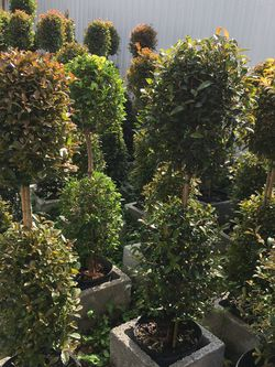 Balls Topiary , Cone In 3 gls Pot SPECIAL PRICE !!🤩 for Sale in Miami,  FL