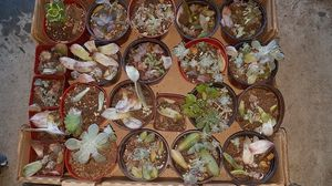 FREE succulent babies for propogation for Sale in San Diego, CA