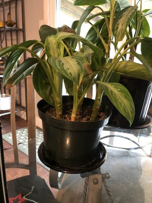 House plant 2 for Sale in Aurora, CO