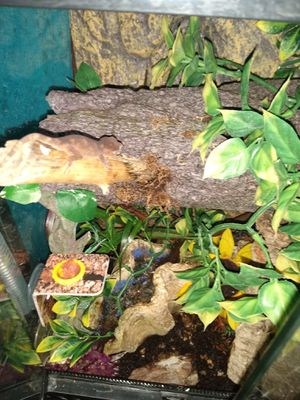 Gargoyle Gecko setup bioactive light and all for Sale in Hammond, IN