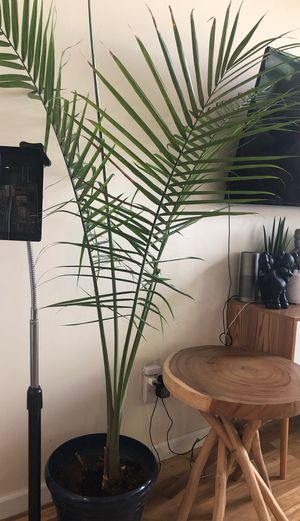 Magesty Palm Plant - comes with pot for Sale in Brooklyn, NY