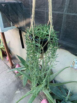 Succulent grande con colgadera for Sale in Cudahy, CA