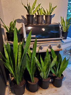 "Snake plants. Air purifying plants. Small $5 each about 10"" tall for Sale in Deerfield Beach, FL"