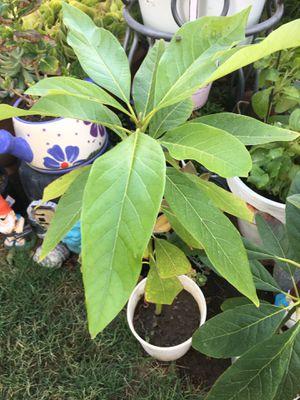 Avocado tree for Sale in Santa Ana, CA