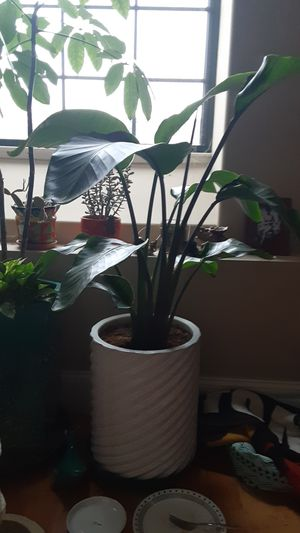 Large white Bird of Paradise house plant for Sale in Coventry, RI