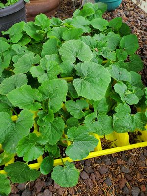 Garden vegetable starts for Sale in Lakeside, AZ