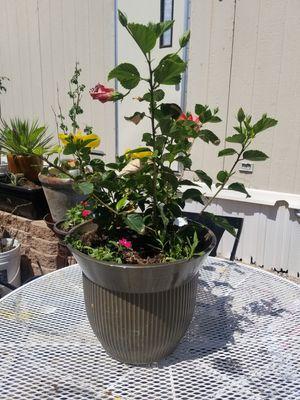 Hibuscus plant for Sale in Phoenix, AZ