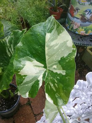 Varigated Elephant Ear for Sale in Kissimmee, FL