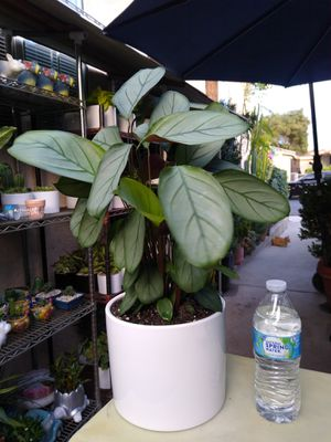 CALATHEA SETOSA INDOOR PLANT for Sale in Paramount, CA