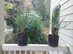 Yuccas for Sale in Atlanta, GA
