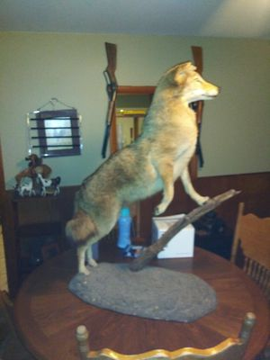 Coyote for Sale in Kansas City, MO