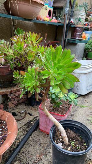 Zwartkop aeonium succulent for Sale in Anaheim, CA