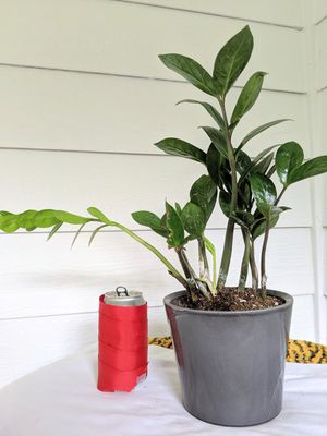 ZZ Plants in Gray Ceramic Planter Pot- Real Indoor House Plant for Sale in Auburn, WA