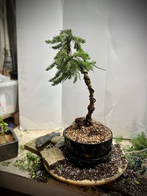 Dwarf Alberta Spruce bonsai tree. Just started training! Live plant! for Sale in Federal Way, WA