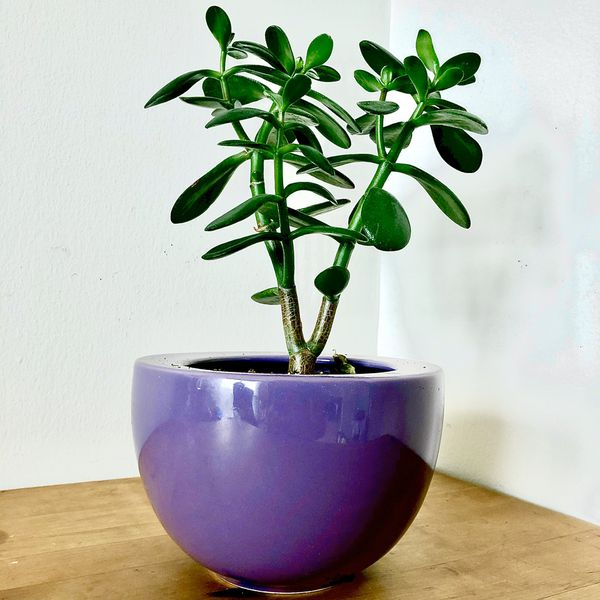 Succulent with Pot - Silver Spring (Pick Up Only)