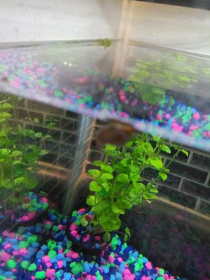 Snails for fish tank for Sale in West Valley City, UT