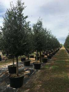 Oak trees delivered and planted 10 foot tall for Sale in Riverview, FL