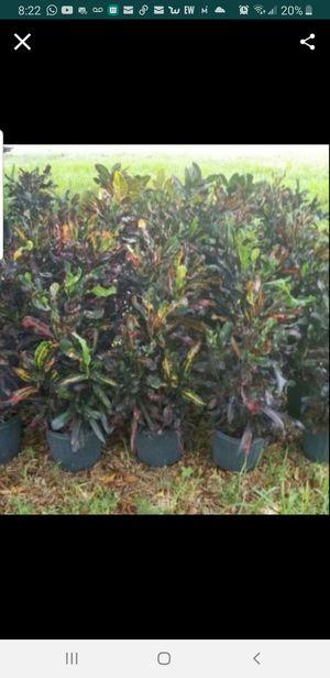 Croton Mamey Plants for Sale in Miami, FL