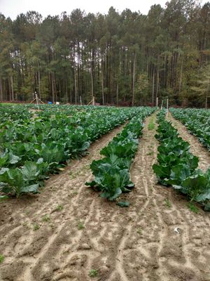 Fresh collars green cabbage, mustard greens ,tender green for Sale in Cayce, SC