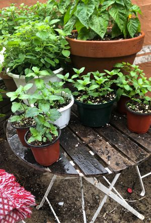 Various Peppermint and Spearmint plants (many more not pictured) for Sale in Baltimore, MD