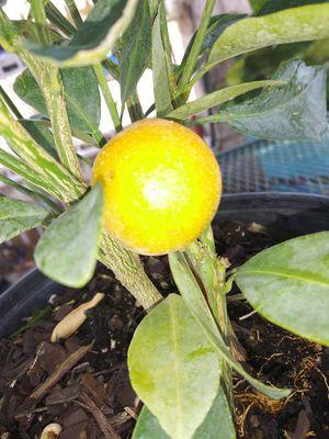 Oranges trees for Sale in San Antonio, TX
