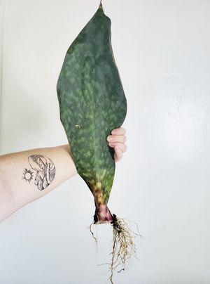 Gorgeous HUGE rare Whalefin Snake Plant Masoniana Sansevieria for Sale!! for Sale in Pleasant Grove, UT