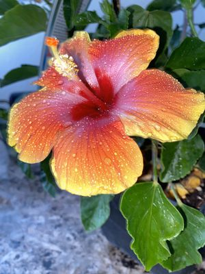 Hibiscus flower in square pot for Sale in Las Vegas, NV