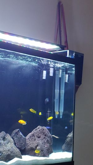 9 african cichlids for Sale in San Diego, CA