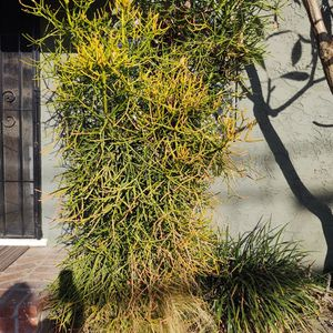 Free Fire stick Tree /Plant for Sale in Whittier, CA