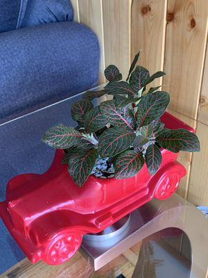 Fittonia Plant comes in a cute car pot. for Sale in Denver, CO