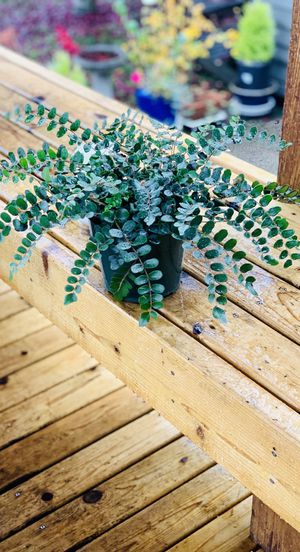 Live indoor Button Fern house plant in a temporary plastic planter flower pot—firm price for Sale in Seattle, WA