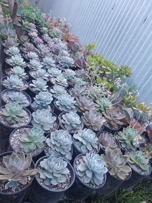 Succulents for Sale in East Los Angeles, CA