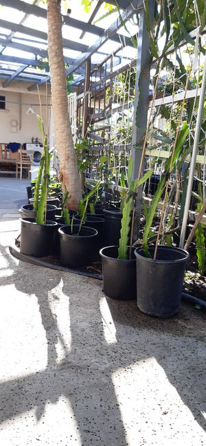 Red Fleshed Dragon Fruit Plants for Sale in Rosemead, CA