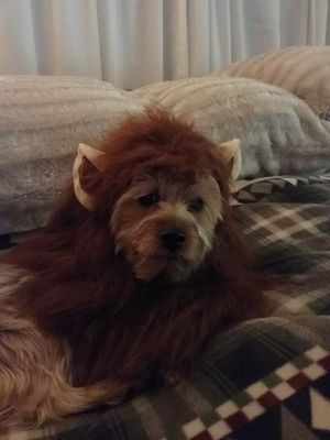 Dog Halloween costume, animal costume, lion's mane, for a dog for Sale in Boring, OR