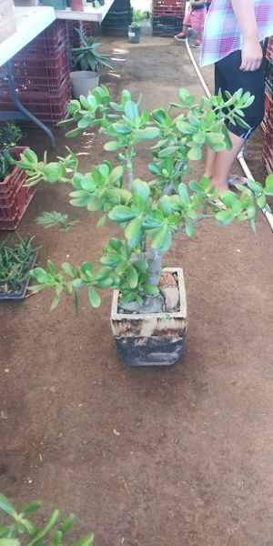 Jade plant $30 decor for Sale in San Marcos, CA