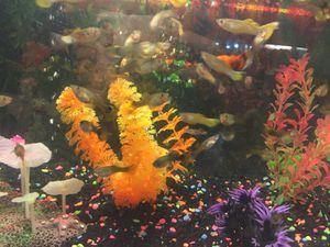 Small Guppy Fish for Sale in Laredo, TX