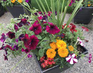 Beautiful flowers 🌺 pots for Sale in Renton, WA
