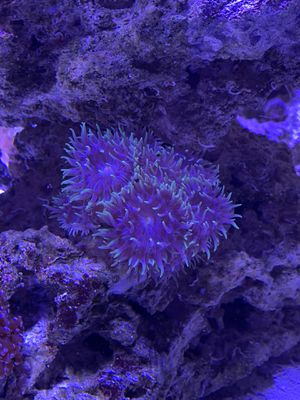8+ Headed Duncan Coral for Sale in San Diego, CA