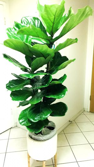 "Fiddle Leaf Fig Tree Plant - 5'3"" - Planter Not Including for Sale in Santa Ana, CA"