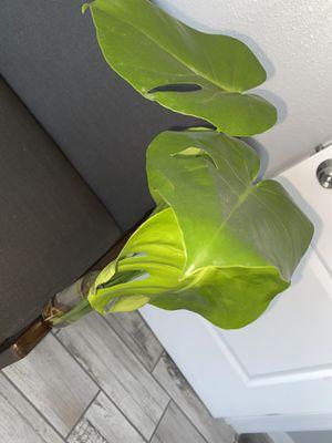 Monstera Deliciosa cuttings 🌱 for Sale in San Fernando, CA