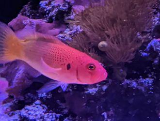 Bright Red And Orange Dottyback for Sale in Miami,  FL