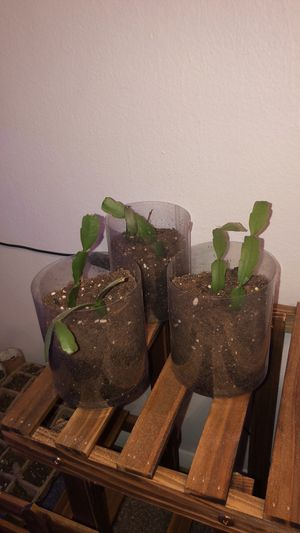 Rooted Christmas Cactus for Sale in Elk Grove Village, IL