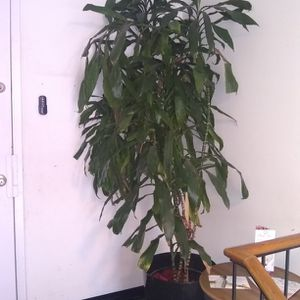 Plant With Black Planter 7 Ft Tall for Sale in Kensington, MD