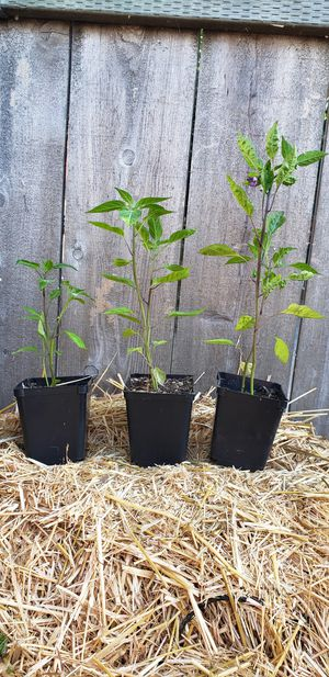 Cayenne pepper plants for Sale in Oceanside, CA